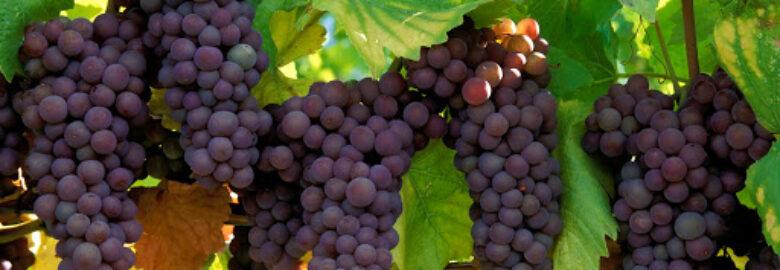 Terroir Dragon Vineyards